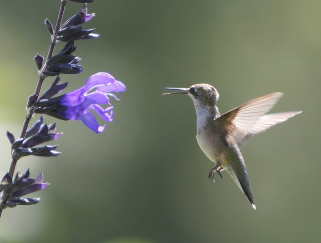 Hummingbird-Nature_52_color_HI